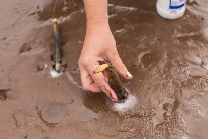 How to catch an Atlantic razor clam