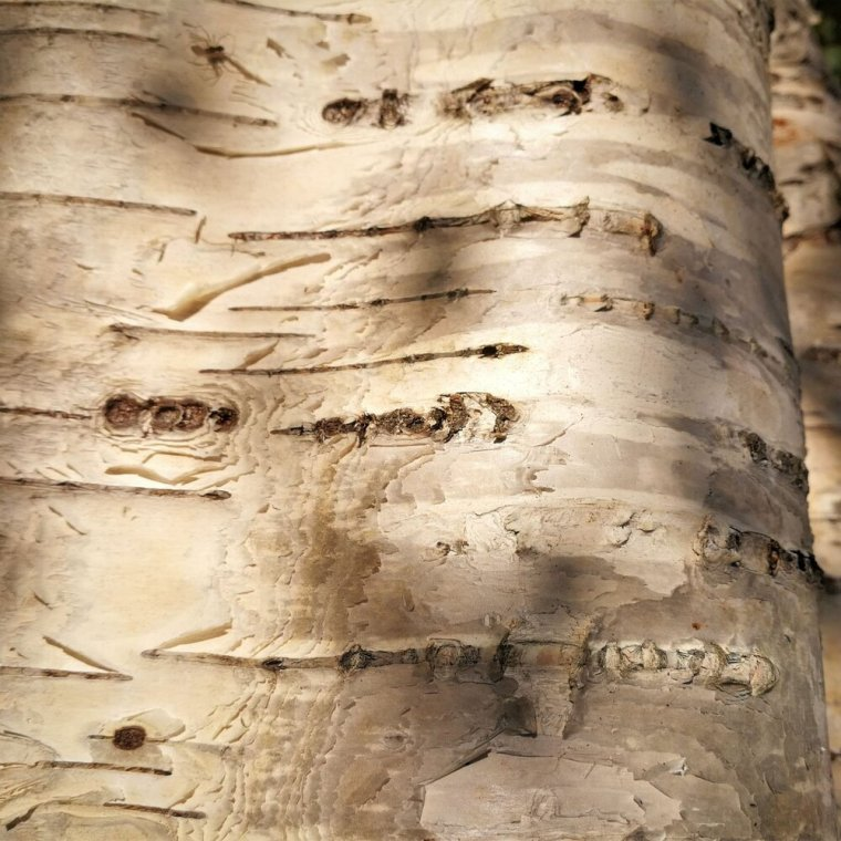 Birch - Definitely the easiest wood to identify is birch. The bark is typically white, or silvery in appearance with horizontal striations which may appear to be peeling. Birch, due to the color of its bark, is associated with feminine, lunar energies. It is associated with purification and fertility as well. Birch wands are excellent for cleansing and healing magick.