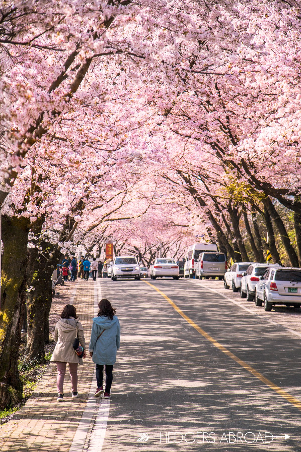 How To See The Hwagae Cherry Blossom Festival - Hedgers Abroad