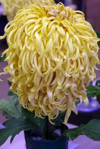 J Backhouse – spider Chrysanthemum - Photo: Linda Hinchcliffe