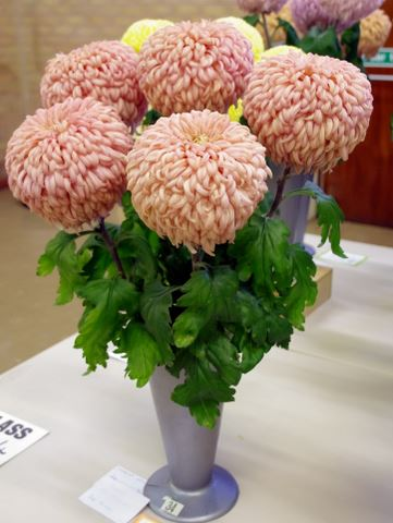 P J Fowler – 1 vase of 5 blooms - Photo: Linda Hinchcliffe