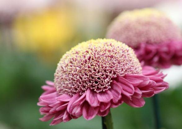 Chrysanthemum pink