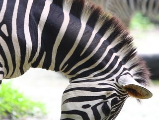 http://www.dreamstime.com/royalty-free-stock-photos-zebra-eating-image15693758