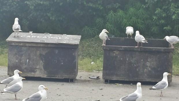 bald eagle viewing kenai peninsula soldotna dump