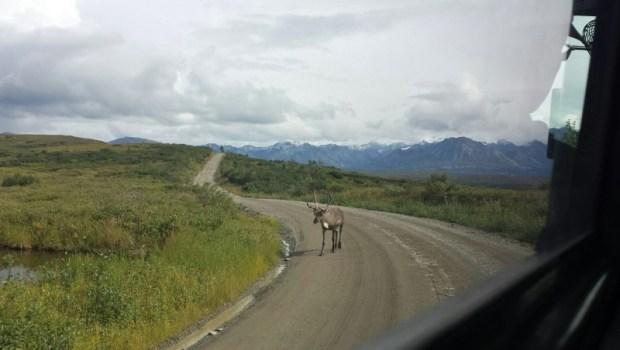 Denali National Park Katishna Experience Bus Tour Caribou