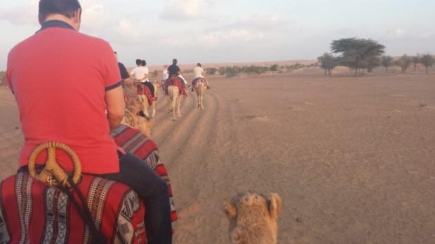 Al maha desert resort camel ride overachiever