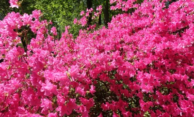 National Arboretum DC Azalea Full bloom Late April