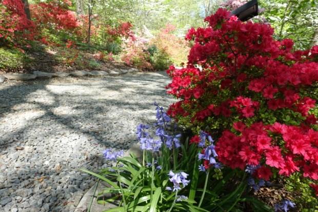 National Arboretum DC Azalea blooms Late April