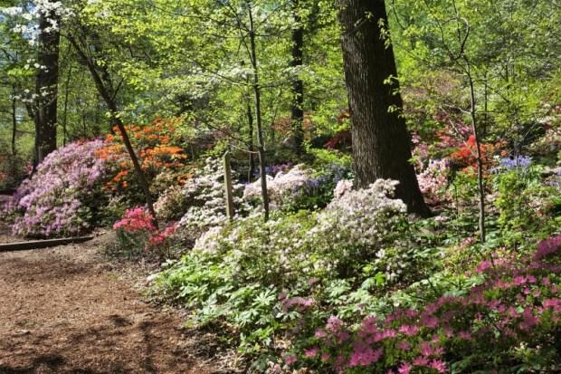 National Arboretum DC Azaleas Late April