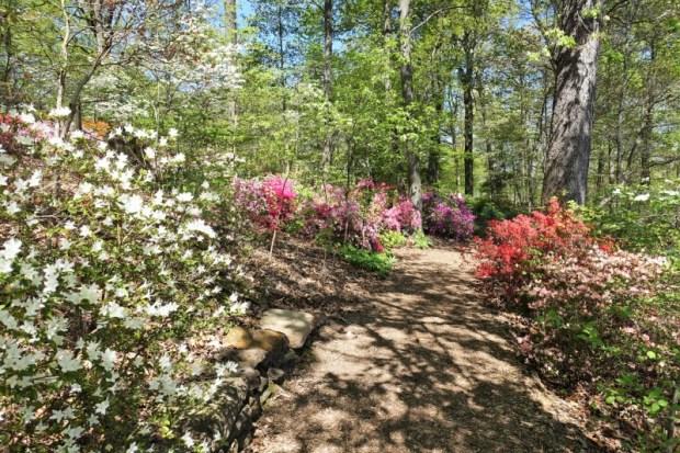 National Arboretum DC Azaleas Path Late April
