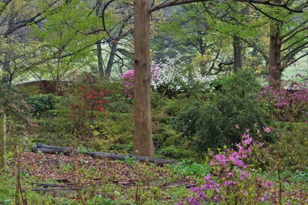National Arboretum DC azalea walled garden