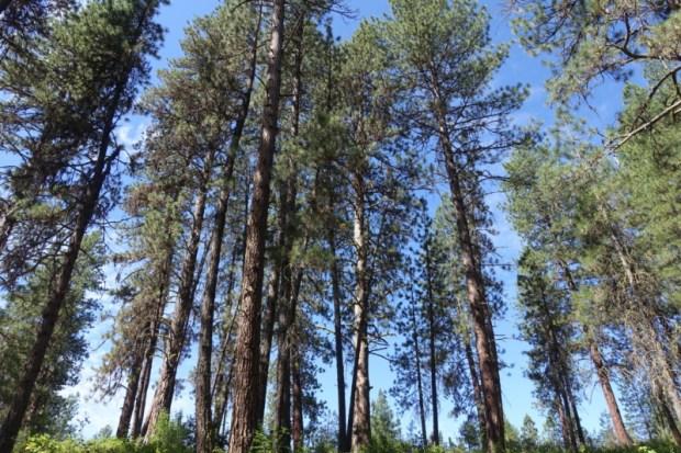 Idaho City Pioneer Cemetery Boot Hill trees