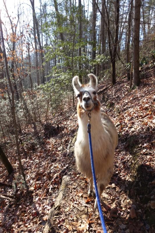 smoky-mountain-llama-treks-oscar