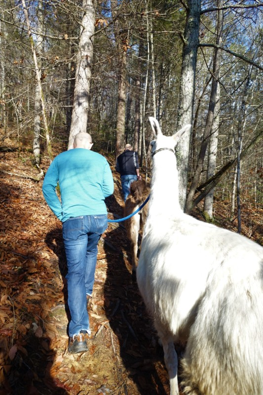 smoky-mountain-llama-treks-hike-uphill