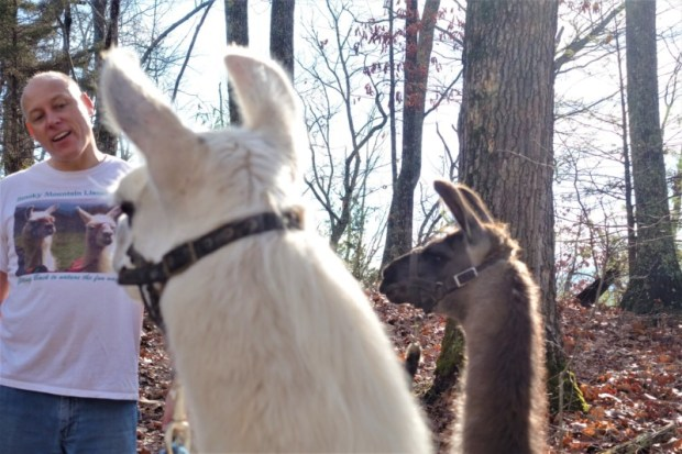 Llamas listening to Steve's stories