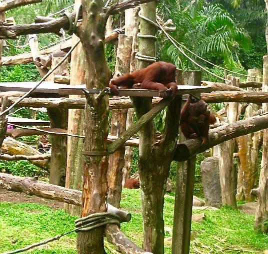 Orang-utans at Singapore Zoo