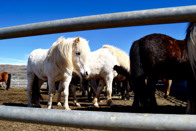 Cute icelandic horses at Eldhestar Horse Farm