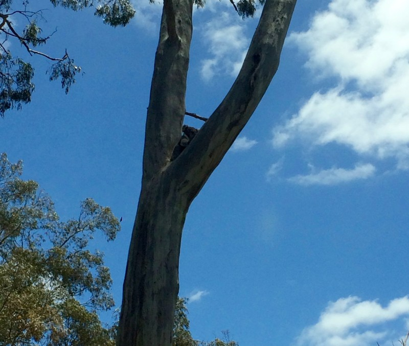 Koalas in the Barossa Valley