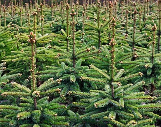 Kerstbomen Moerwijk gratis ophalen Participatie Keuken Geloven in Moerwijk Moerwijk Coöperatie