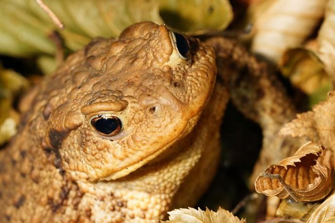 Bufo bufo - Erdkröte. Dieses richtig fette Weibchen schaute sich unser nächtliches Schauspiel an. Eine Kröte beim Leuchten - wohl kein gutes Omen.