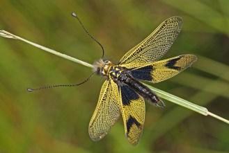 Libelloides longicornis - Langfühleriger Schmetterlingshaft in Lauerstellung an einem Grashalm, man beachte die zangenförmigen Fortsätze am Hinterleib des Männchens. Kaiserstuhl, Badberg, 13.06.2017 (Foto: Tim Laußmann)
