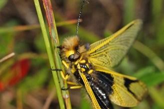 Libelloides longicornis - Langfühleriger Schmetterlingshaft in Lauerstellung an einem Grashalm, ich vermute, dass hier noch ein Beinchen eines gefangenen Insekts aus dem Maul hängt. Kaiserstuhl, Badberg, 13.06.2017 (Foto: Tim Laußmann)