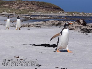 Gentoo Penguins, Saunders Island, Falkland Islands