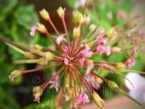 29th July 2013 - naked geranium