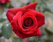 12th September 2013 - Raindrops on roses...