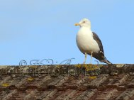 16th September 2013 - this dude seemed to spend all day on the roof of the neighbours house, watching me edit video - freaky!