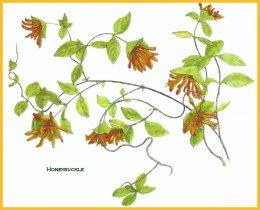 honeysuckle-jpg