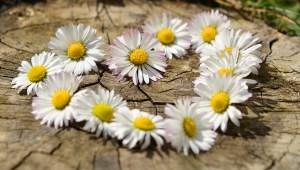 daisy-712898_1280