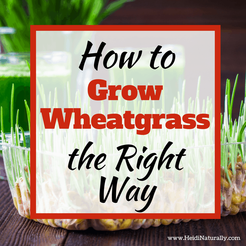 How to Grow Wheatgrass the Right Way