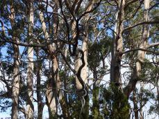 beautiful gumtrees