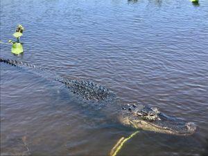 Alligator_Spotted_at_Everglades_Holiday_Park_Florida