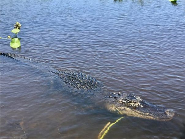 Alligator_Spotted_at_Everglades_Holiday_Park_Florida