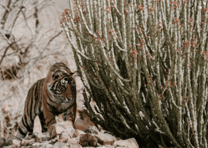Tiger_In_Wild_Image