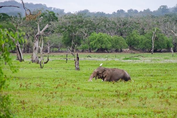 sri-lankan-elephant-yala-national-park