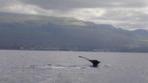 Humpback_Whale_Fluke_Maui2021