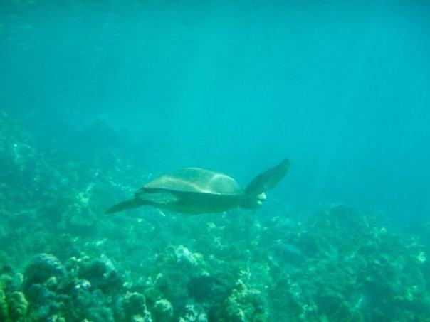 Sea_Turtle_Makena_Landing_Maui
