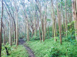Mahana_Ridge_Trees_Maui_by_Heidi_Siefkas
