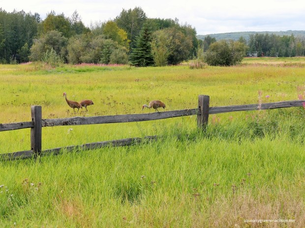 sandhill cranes behind a fence at creamer's field