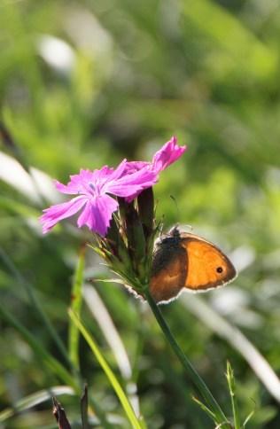 Das ist ein Kleines Wiesenvögelchen und nicht etwa ein Schmetterling. Singt aber nicht.