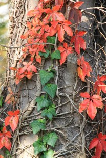 Herbst_Efeu