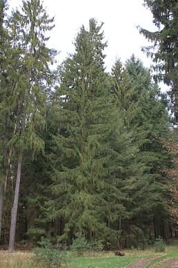 Bäume - Douglasie oder Fichte, das ist hier die Frage.