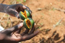 Baby passionfruit Heifer farmers grow for better nutrition and income