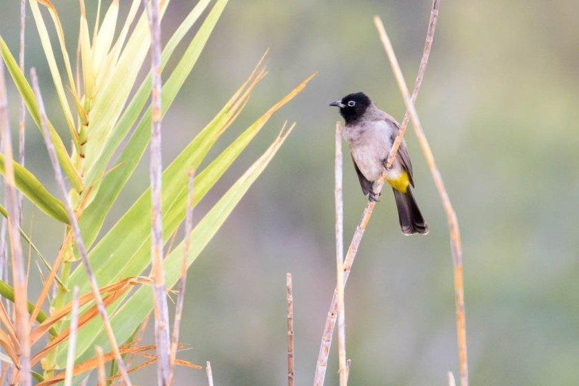 Pycnonotus xanthopygos