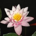 der Lotus, als Symbol der reinheit, viele Inkarnationen arbeiten wir an unserem Lotus