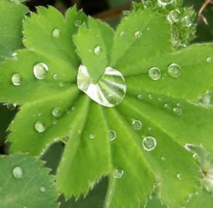Alchemilla, der Frauenmantel, eine Heilpflanze für Frauen