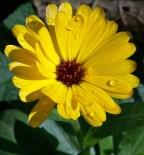 Ringelblume - Calendula
